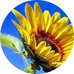 sunflower oil benefits